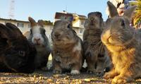 Экстрим видео недели: Остров кроликов Окуносима, Япония