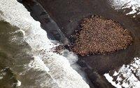 Массовое скопление моржей на побережье Аляски из-за таяния льдов