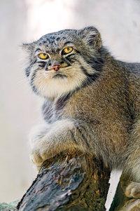 Познакомьтесь с самыми выразительными кошками на свете — манул из Центральной Азии