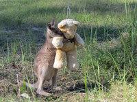 Осиротевший детеныш кенгуру просто хочет обнять своего плюшевого мишку