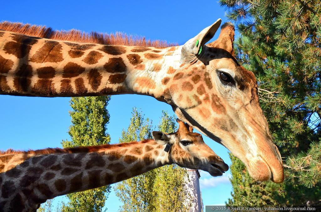 Самый пиздатый жираф для контакта