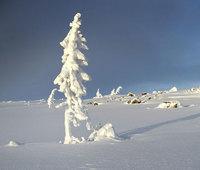 В Швеции растет самое старое дерево на планете!