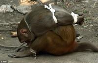 Как в Индии наказывают обезьян-преступниц