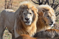 Путешествие в Тайган. Как я дружил со львами