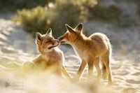 11 снимков влюбленных лисиц, которые растрогают даже самого заядлого циника