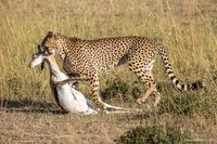 Что на ужин у гепардов?