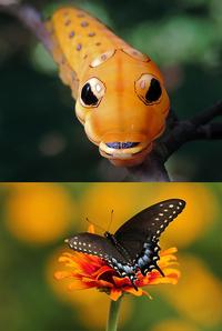 Как гусеница становится бабочкой: 15 преображений