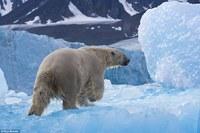 Жизнь медведей, подсмотренная фотографом в лесах Канады и в Арктике