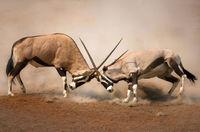 28 экспрессивных снимков противостояния животных в дикой природе