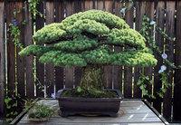 391-летнее дерево бонсай было посажено в 1625 году, пережило Хиросиму и растет дальше