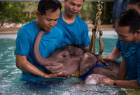Как в Таиланде учат заново ходить несчастных маленьких слонят, попавших в капканы
