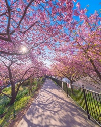Несравненная красота: в японском городке уже расцвела сакура!