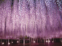 10 причин бросить все и отправиться в Японию на сказочный фестиваль глицинии