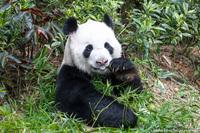 В гостях у сингапурских панд
