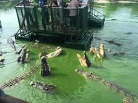 Крокодиловая ферма в Таиланде — отличное место для любителей острых ощущений
