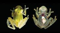 В Эквадоре открыли новый вид стеклянной лягушки, у которой полностью видно сердце