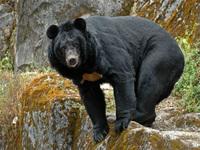 Как панды, сами того не подозревая, спасают природу