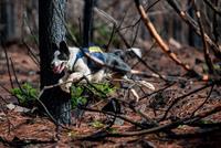 После пожаров в Чили леса восстанавливают с помощью собак