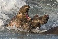Морские слоны узнают друг друга по голосам на расстоянии