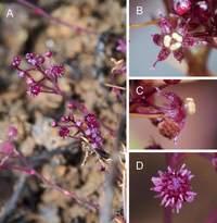 В Японии обнаружили красивый цветок-паразит