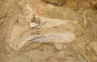 Почему трицератопсы «теряли голову»