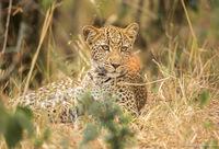 Как сохранить потомство: невероятная хитрость самки леопарда
