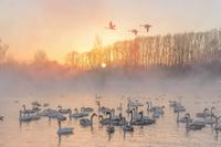 Лебеди предпочли зимовку в суровой Сибири перелету в теплые страны