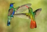Удивительные способности колибри: уснуть, чтобы не умереть от голода
