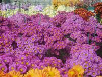 Бал хризантем