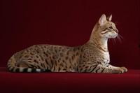 Сервакот: изящество кошки и преданность собаки в одном существе