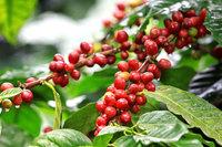 Кофе без кофеина: как случайно создали безвредный напиток