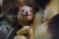 10 изумительных фото древесных кенгуру, о которых вы никогда не слышали