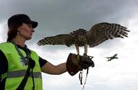 Как аэропорты защищают самолеты от столкновений с птицами