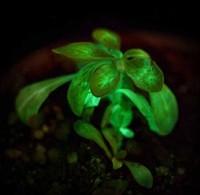 Голливудские фантазии скоро станут реальностью: созданы светящиеся в темноте растения