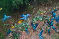 Зачем попугаи ара каждое утро едят глину