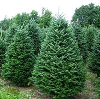 Почему датские елки считаются самыми лучшими на новогоднем рынке Европы