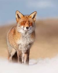 Уроки зимнего счастья: как дикие лисицы наслаждаются снегом