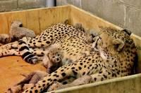 В зоопарке США самка гепарда родила рекордное количество котят