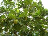 Хлебное дерево: почему его так называют, ведь его плоды не похожи на хлеб