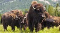 Не ради мяса или шкур: зачем американцы истребили всех бизонов на континенте