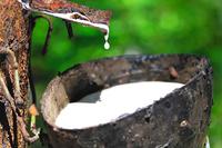 Молочное дерево: уникальное растение, сок которого напоминает сгущенное молоко