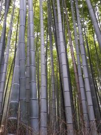 Бамбуковая чаща