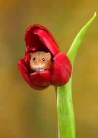 Фотограф снял мышей в тюльпанах, и эти фото произвели фурор в интернете