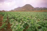 Табачная плантация. Куба