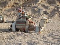 Египетский верблюд