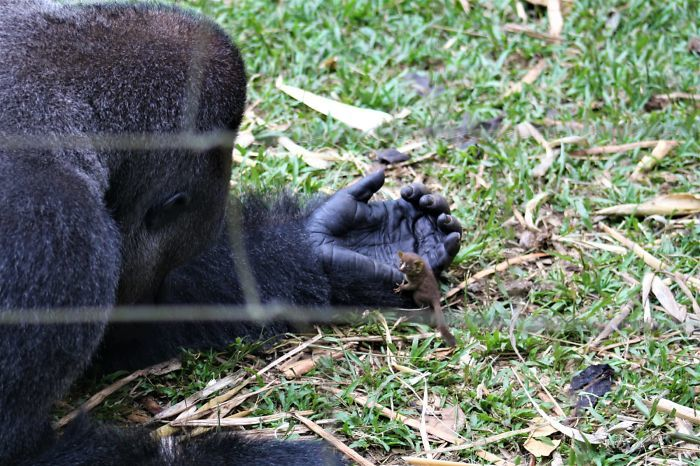 24-летний самец гориллы подружился с крошечным лесным зверьком, и это невероятно
