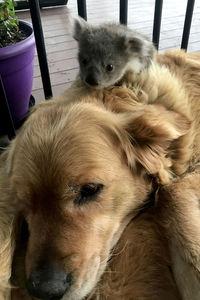 Прекрасная история: в Австралии ретривер спас маленькую коалу