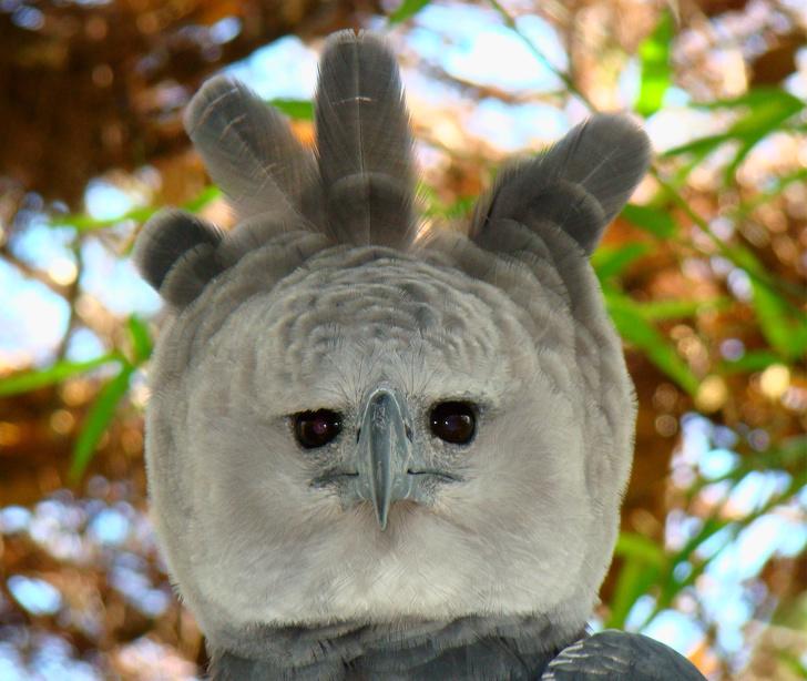 Наши забавные питомцы - Страница 2 26394515-Portrait-of-a-Harpy-Eagle-1538054513-728-231f3cba0f-1539777676