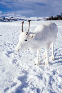 В Норвегии фотограф запечатлел детеныша редчайшего белоснежного оленя