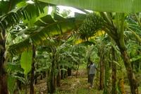 Генетики снова вмешались в природу: африканским бананам отредактировали гены